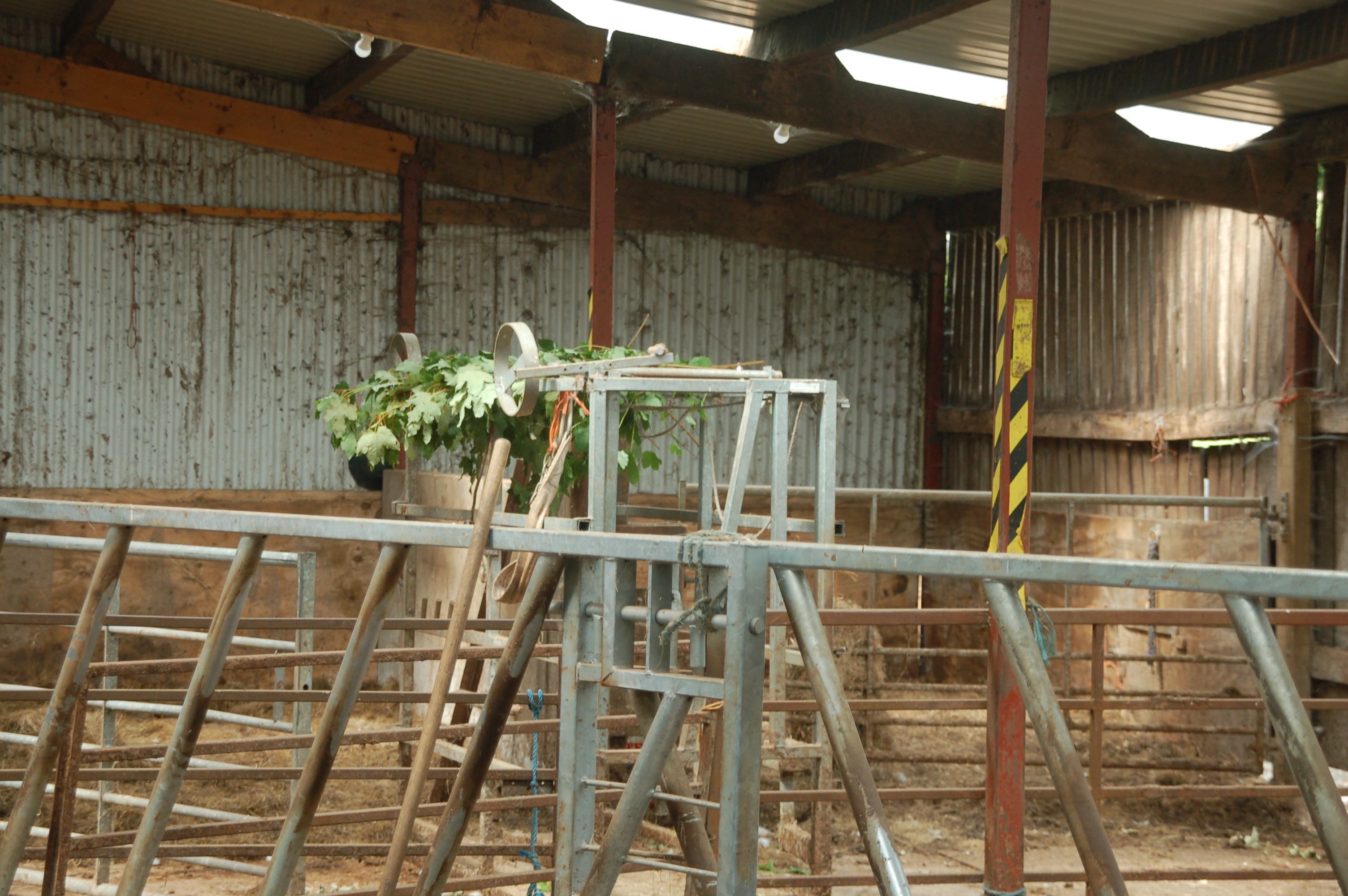 Sycamore leaves that will become tree hay drying in their barn at Challan
