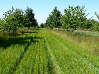 Agroforestry Wakelyns ORC