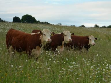 Herefords in wildflower meadow