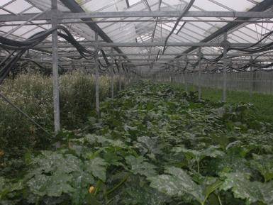 Glasshouse 2 - courgettes