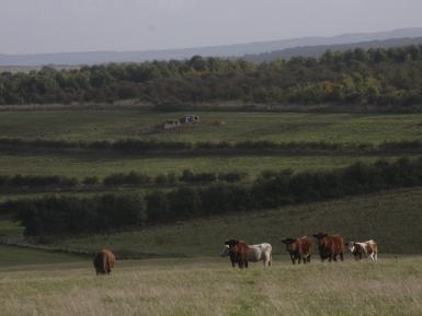 Cattle and agroforestry