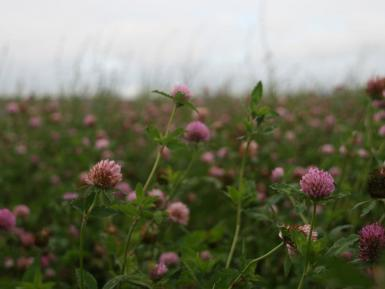 Clover field at Daylesford Organic, Gloucestershire. Martin Morrell