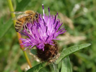 Honeybee on knapweed