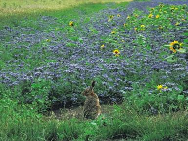 Hare in field margin