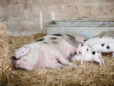 Gloucester Old Spot and her piglets at Daylesford Organic farm- Martin Morrel