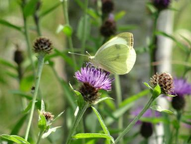Cabbage White butterfly on knapweed