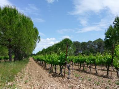 Pines and vines agroforestry, Restinclieres