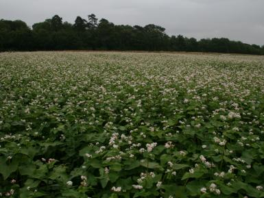 Buckwheat cover crop, Abbey Home Farm 2013