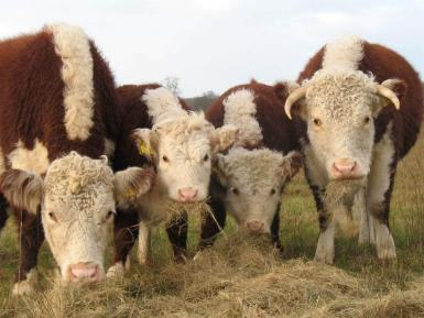Traditional Hereford Cattle, Conygree Farm