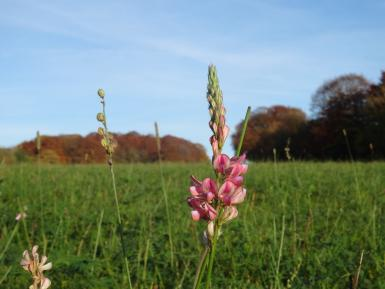 Sainfoin, Oct, Daylesford