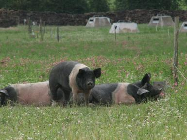 Pigs in pasture, Eastbrook Farm