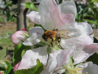 Solitary bee on apple blossom