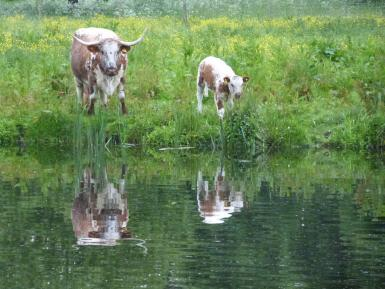 Longhorn & calf with reflections - Shugborough