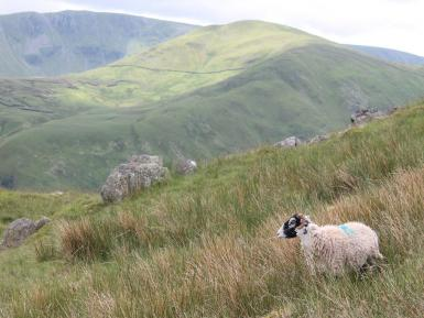 The complementary role of sheep