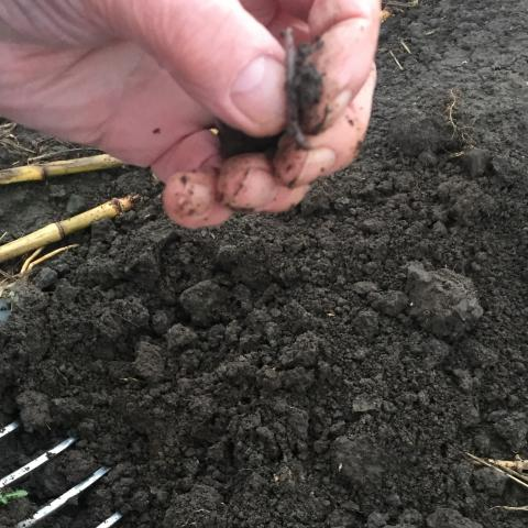 Visual assessment of soils at Ferry Farm have shown an increase in earthworms and improvement in soil structure