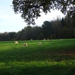 Daylesford Sheep