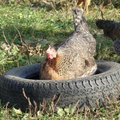 Chickens at Daylesford Nov 16