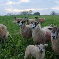 Ewes and Lambs Grazing Deep Rooting Four Year Herbal ley