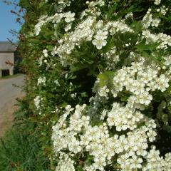 Roadside hawthorn hedge in May