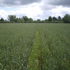 Minimum tillage established spring wheat on the left and plough power harrow established spring wheat on the right 2012