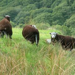 Cumbrian sheep and trees