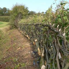 Midlands hedge-laying at Wimpole Estate, 2010