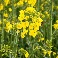 Bumblebee and Oilseed-Rape