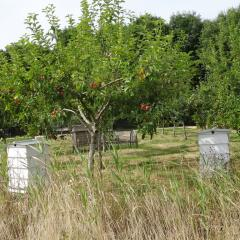 Bees and apple trees