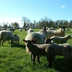 Sheep grazing with the shelter of trees behind