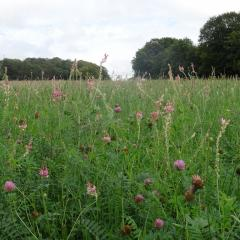 Sainfoin and Clover