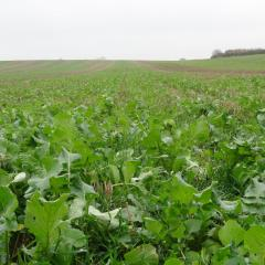 Allerton cover crop, 2016