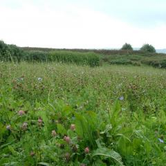 Flowering meadow on St Martins, Isles of Scilly