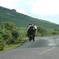 Belted Galloway, Cornwall
