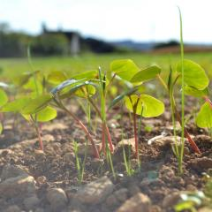 Buckwheat Companion Nurse Crop Sheltering Summer Sown Ley Seed Mix