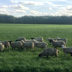 Sheep on holiday on Ferry Farm