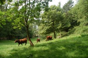 Red Poll cattle farmed by Bil and Cath Grayson in Cumbria using conservation grazing techniques