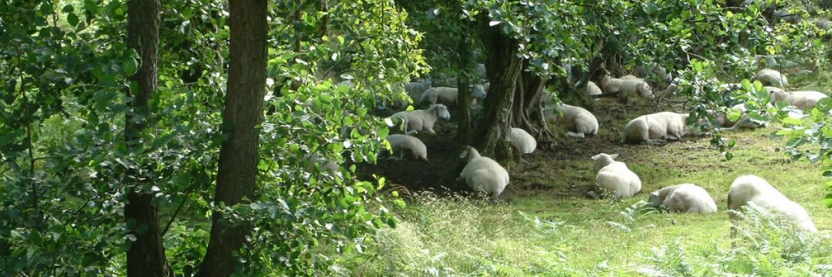 Sheep sheltering under trees in Camarthenshire