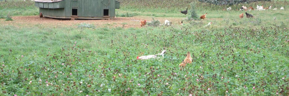 Hens foraging