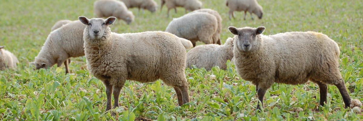 Sheep in stubble turnips at Daylesford Organic farm, Gloucestershire  . Martin Morrel