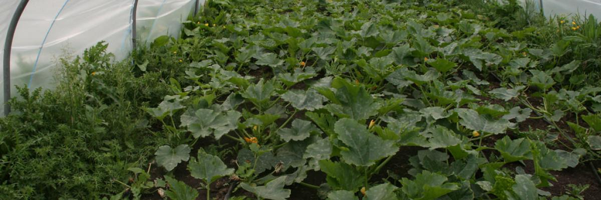 Courgettes growing in a thick mulch of green waste compost