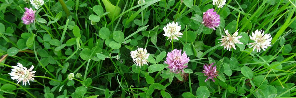 Red and White Clover