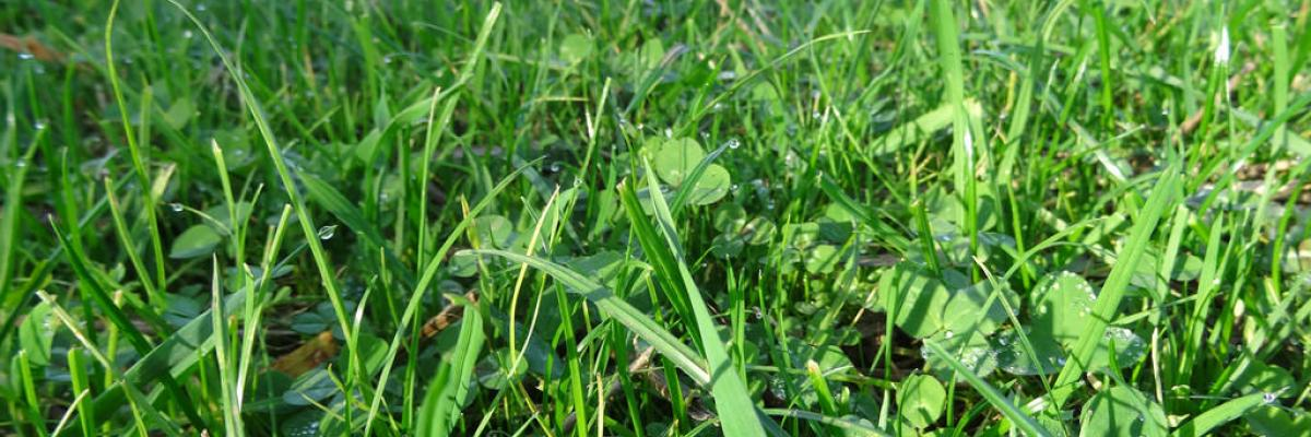 Clover and grass ley, Daylesford