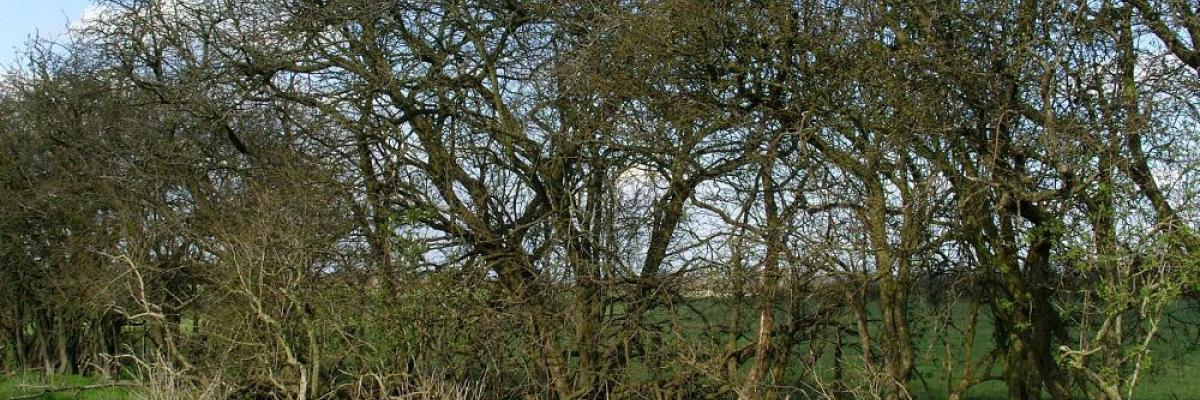 Tall mature unmanaged hedge which has developed gaps